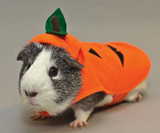 Guinea Pig Pumpkin Costume